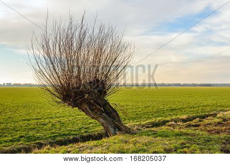 Skew and hollow pollard willow tree in a rural landscape. It is a cloudy day in the Dutch winter season.
