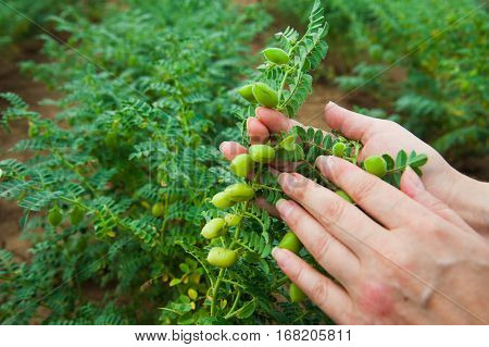 Woman Showing Chickpeas In Close Up
