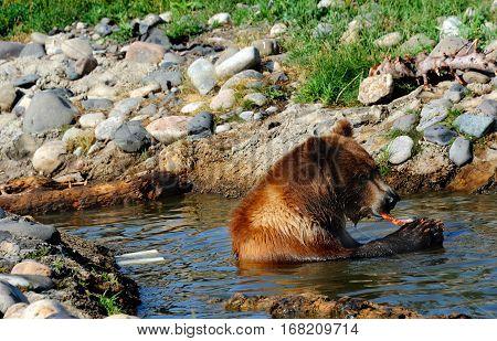 Bear Enjoys Fish Dinner