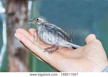 Beautiful tree pipit bird with open beak  in man's hand