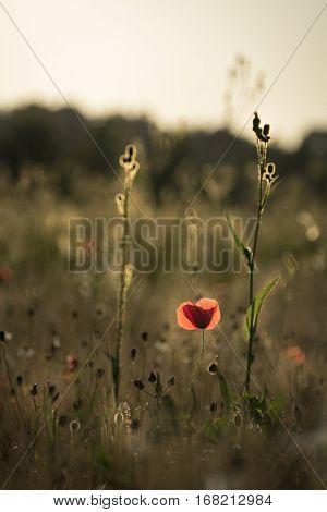 Poppy catching the last golden light in flower field landscape