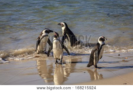 African Penguins at Boulder Beach in Simon's Town, South Africa