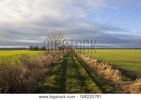 Footpath With Wheat