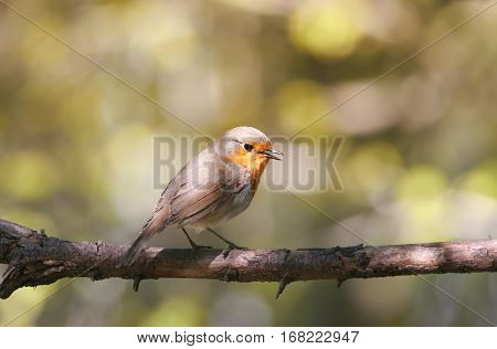 the bird is a Robin sitting on a branch in the spring and sings a song