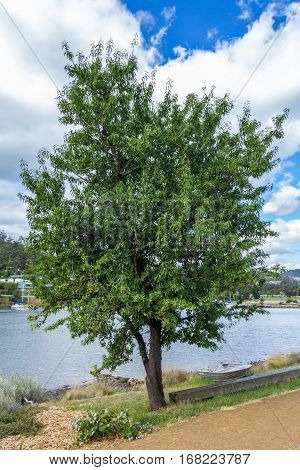 Hobart Australia - December 26 2016: Almond tree on the bank of Hobart's Derwent estuary