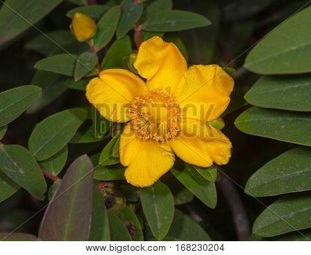 Yellow St. John's wort flowers plants in the garden