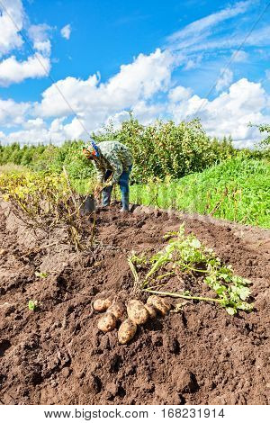 Novgorod Russia - August 17 2016: Woman harvested potato at the field in russian village