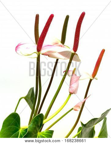 Calla lily. Beautiful white flowers on a white background.