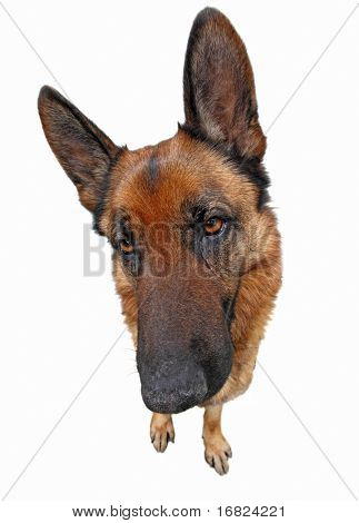 funny portrait of classic german sheppard isolated on white