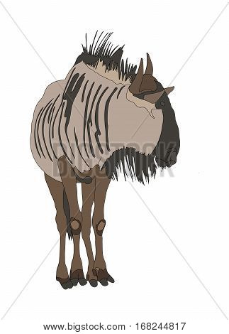 Blue Wildebeest (common Wildebeest) From Front