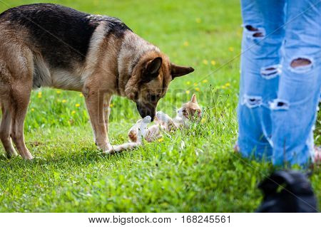 Dog Fighting Domestic Cat