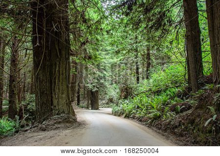 Road in the forest Redwood National Park, California USA
