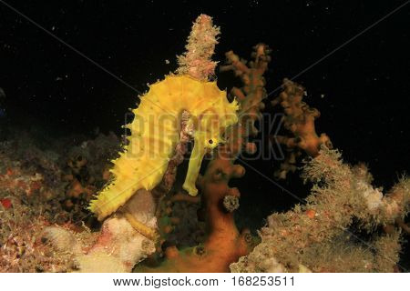 Thorny Seahorse yellow sea horse