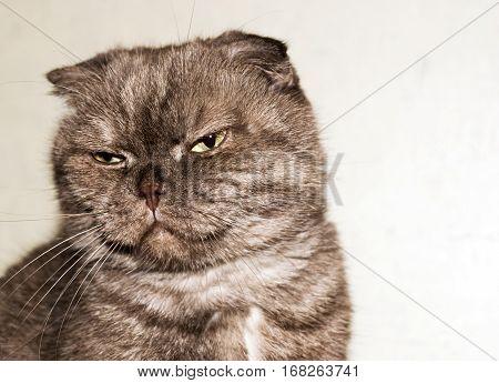 Head Fold. Portrait of a cat narrowed. Rectangular.