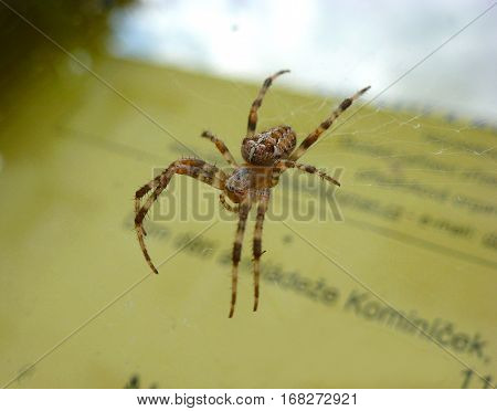 Photo of a European garden spider on a web