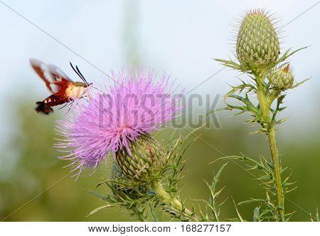 hovering hummingbird moth feeding on summer thistle