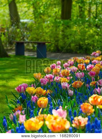 Keukenhof park in Netherlands. Flower bed of colourful tulips in spring. Colorful tulips in the Keukenhof park, Holland, Netherlands. Fresh blooming tulips in the spring garden. Tulip Flower Field.
