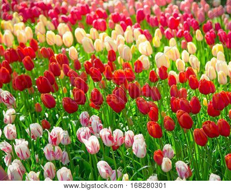 Flowers tulips. Glade of red, pink and white fresh tulips. Colorful tulips in the Keukenhof garden, Netherlands. Tulip flower field. Flowers background. Beautiful flowers of tulips. Spring flowers.