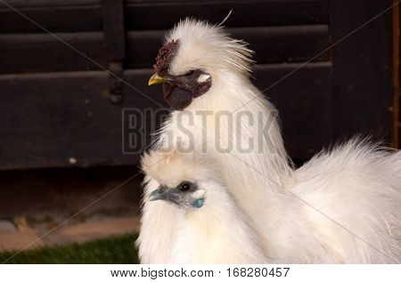 The Silkie is a breed of chicken named for its atypically fluffy plumage which is said to feel like silk and satin.