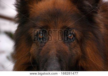 Long-haired German shepherd as the guardian of the family home