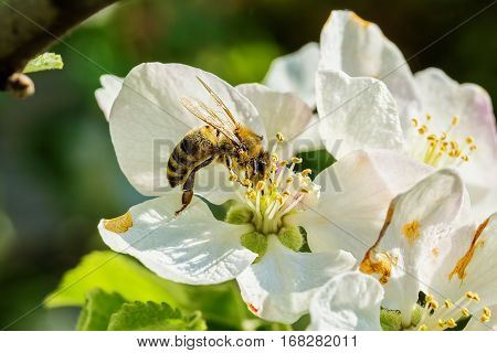 Bee collects nectar on a white spring apple blossom macro. Selective focus