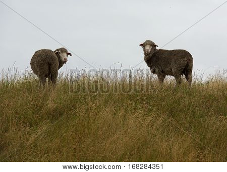 Two sheeps in grass background - popular domestic  animal in New Zealand. Sheep in nature on meadow. Farming outdoor. Sheep eating grass on the mountains of the north island of New Zealand
