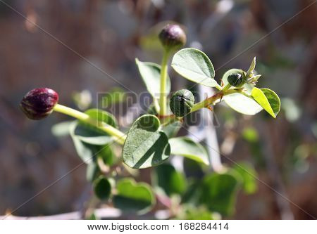 Capers - unblown flower buds caper plant (Capparis spinosa). Used pickled or preserved in vinegar with salt