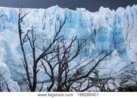 tree and perito moreno glaciar in argentina