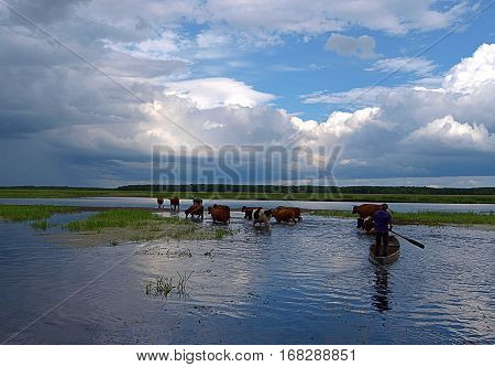 Western over the river Biebrza. Cows on pasture run by a woman on the boat, crossed the river Biebrza in the village Brzostowo Podlasie.