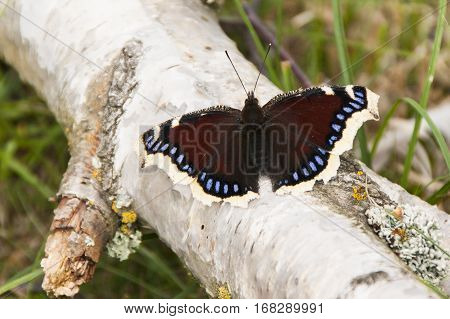 Camberwell Beauty butterfly Nymphalis antiopa basking on a fallen birch tree branch in sunlight with wings open