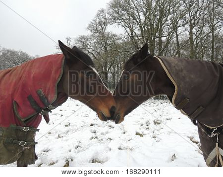 Thoroughbred and warmblood horses standing nose to nose in a snow covered field in winter