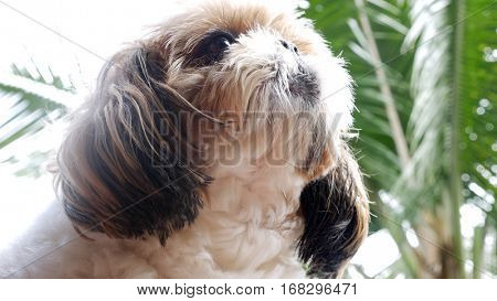 Close-up of Shih Tzu dog