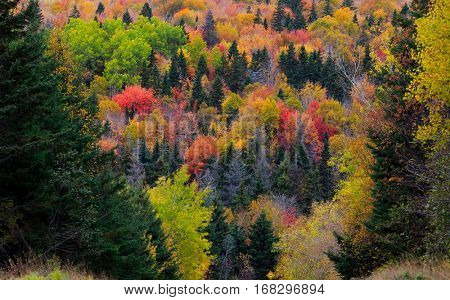 Hillside covered with an autumn forest of maple, birch, poplars and coniferous trees.
