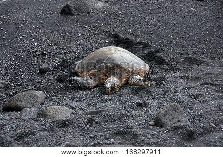 Sea Turtle At The Beach, Hawaii, Usa