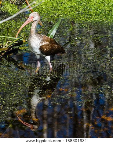 An ibis strutting with its reflection in a marshy stream
