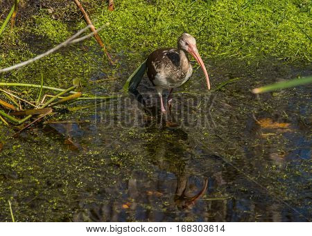 An ibis wading into a marshy stream with a rippled reflection