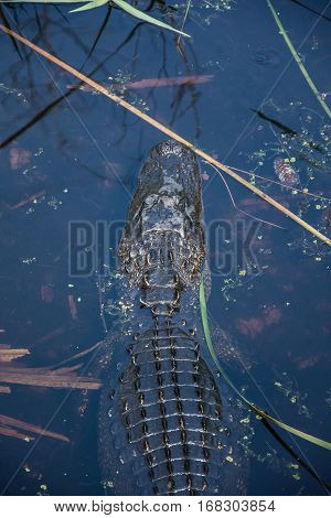 The head of an alligator swimming in the murky water of a stream