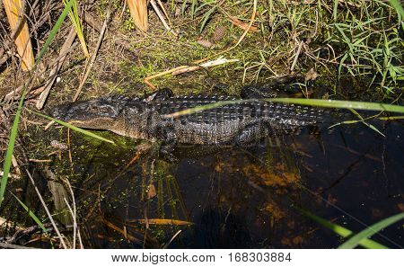 An alligator in the water at the edge of a marshy stream
