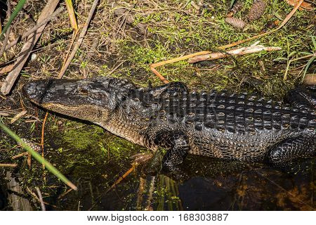 An American alligator on the edge of a marshy stream with wet shiny skin