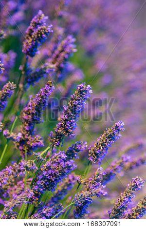 Blooming Purple Lavender Herb
