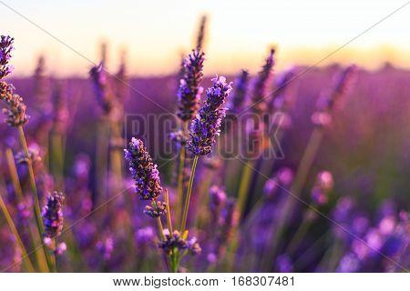 Sunset over a violet lavender field in Provence France
