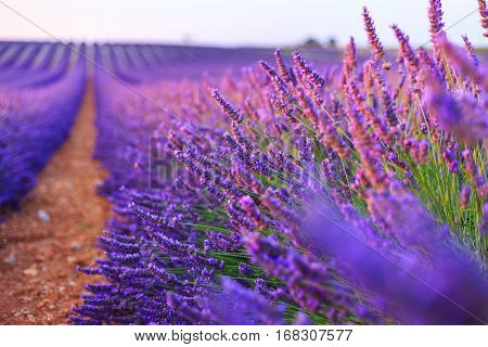 Beautiful Lavender rows near Valensole Provance. France