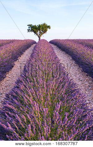 Lavender field summer landscape near Valensole. France