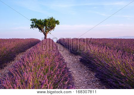Lavender field summer sunset landscape with single tree near Valensole.ProvenceFrance
