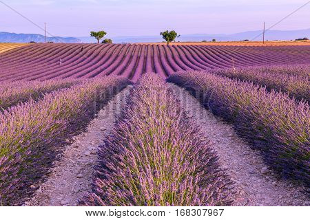 Lavender field summer landscape near Valensole. Provence, France