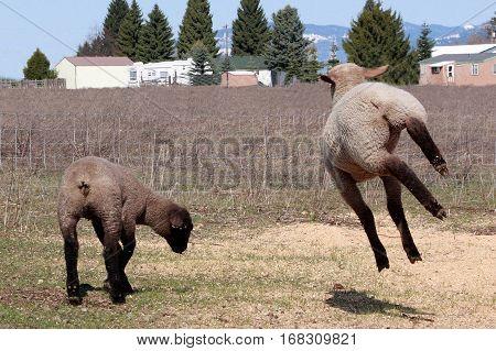 A frisky lamb kicks up her heels