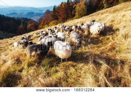 A flock of sheep grazes on a field