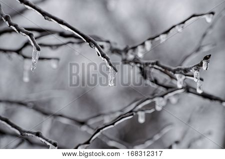 Frozen water in the form of icicles dangle from the branches of a tree on a cold winter morning