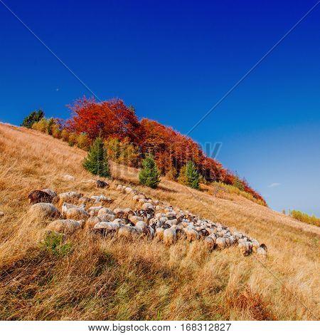 A flock of sheep grazes on a field