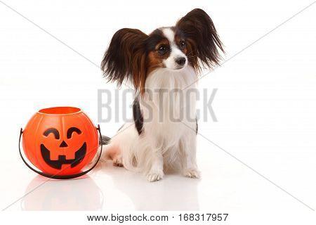 Papilion dog with Halloween basket studio shoot